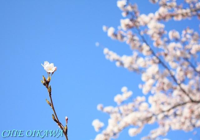 覚悟の決め方 桜 ソメイヨシノ